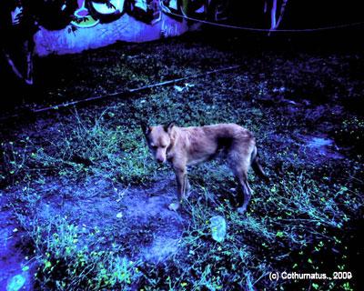 Cothurnatus - Gothic Dog