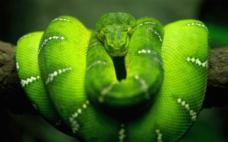 emerald_boa