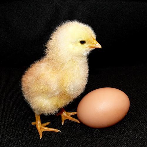 hen_n_egg